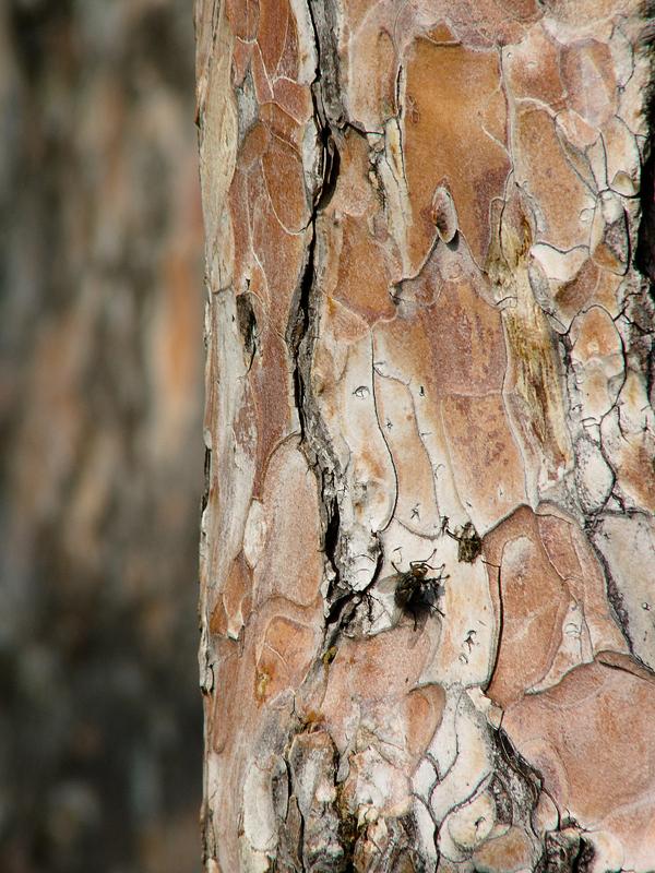 Fenyőfa léggyel
